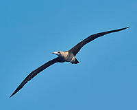 Brown Booby (tan belly). Viewed from the deck of the MV World Odyssey. Image taken with a Nikon 1 V3 camera and 70-300 mm VR lens (ISO 160, 224 mm, f/9, 1/1000 sec).