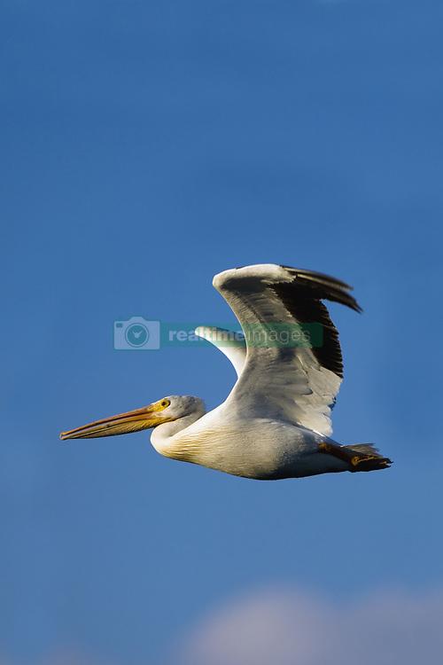 July 21, 2019 - Flying Pelican (Credit Image: © Richard Wear/Design Pics via ZUMA Wire)