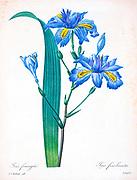 19th-century hand painted Engraving illustration of a Fringe Iris (Iris fimbriata syn Iris japonica) flower, by Pierre-Joseph Redoute. Published in Choix Des Plus Belles Fleurs, Paris (1827). by Redouté, Pierre Joseph, 1759-1840.; Chapuis, Jean Baptiste.; Ernest Panckoucke.; Langois, Dr.; Bessin, R.; Victor, fl. ca. 1820-1850.
