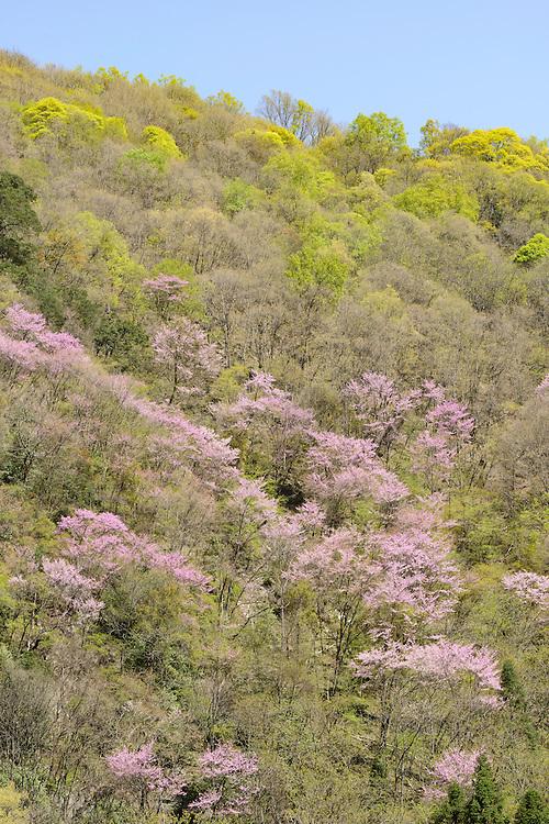 春季盛开的紫荆花,唐家河自然保护区,四川,中国。Blooming Chinese redbud, Tangjiahe Nature Reserve, Sichuan, China.