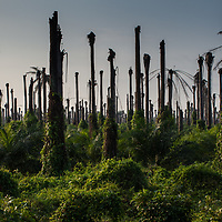 Early morning at an african palm plantation in the Dominican Republic. Old palms are being killed off and new palms growing up. African palm cultivation is widely criticised for environmental and social/economic reasons.