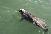 Harbor Seals, Skagway Harbor, Skagway, AK