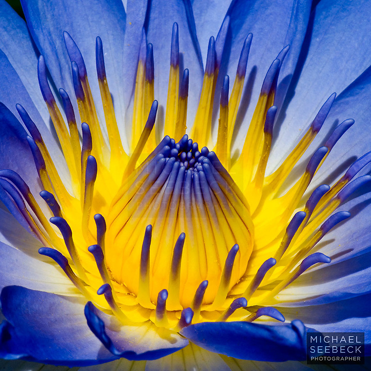 A vividly beautiful water lily unfurls in morning light.<br /> <br /> Code: SAQT0001<br /> <br /> Limited Edition Print