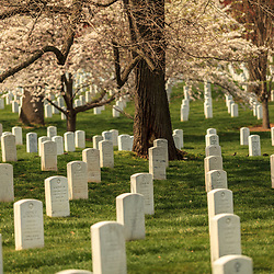 Washington, DC, USA - April 11, 2013: A flowering tree in Spring at Arlington National Cemetery in Virginia.