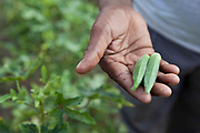 Okra that have been grown at the village of Bagabar in the Maharai district of India.