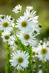 Leucanthemella serotina AGM - Autumn ox-eye daisy
