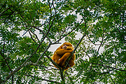 Golden-mantled howler (Alouatta palliata palliata) on a tree Photographed in Costa Rica