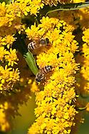Honey bees on goldenrod