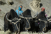 India, Ladakh region state of Jammu and Kashmir, Leh, farmers working in their fields, Threshing wheat with yaks
