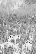 Fresh powder on pines, Ansel Adams Wilderness, Sierra Nevada Mountains, California USA