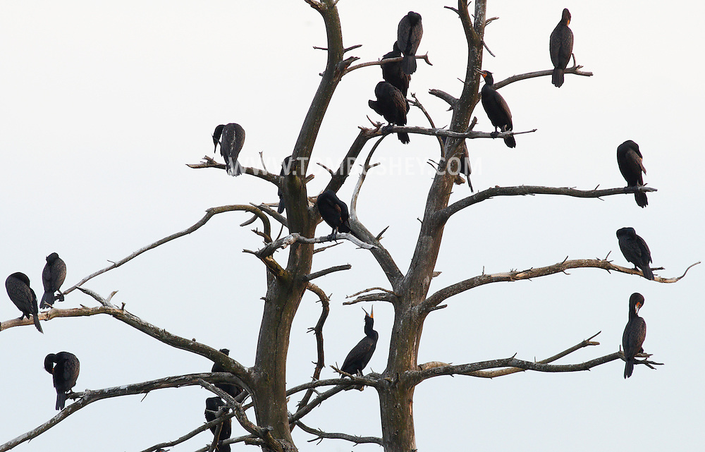 Middletown, New York - Double-crested cormorants  (Phalacrocorax auritus) gather in the branches of a tree in the lake at Fancher-Davidge Park in Middletown on April 15, 2012.