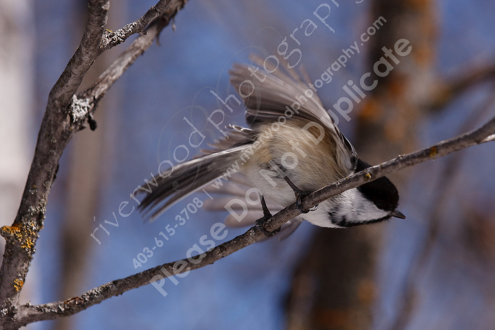 We went for a walk at Weaselhead and found several groups of very inquisitive Chickadees.  These birds are very used to getting handouts from the park visitors and are easily enticed to land on an oustretched hand...©2009, Sean Phillips.http://www.Sean-Phillips.com