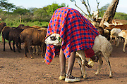 """""""Morning Chores"""" won Honorable Mention for the NYC4PA Animals exhibit.<br /> <br /> http://www.nyc4pa.com/#!galleries/vstc1=animals<br /> <br /> The technique the Maasai use to control their goats while milking produced quite the interesting image.  I can't help but chuckle when I see this image."""