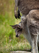 Joey kanagaroo in mother's pouch, buzzed by flies. Eastern Grey Kangaroo, at Tom Groggins, Mount Kosciuszko National Park