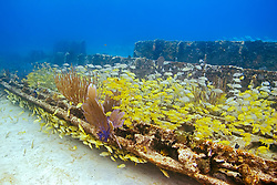 Schooling mixed grunts and snappers, Haemulon sp. and Lutjanus sp., over Sugar Wreck, the remains of an old sailing ship that grounded many years ago, encrusted with Sea Fan, Gorgonia sp., and Sea Rods, West End, Grand Bahamas, Caribbean, Atlantic Ocean