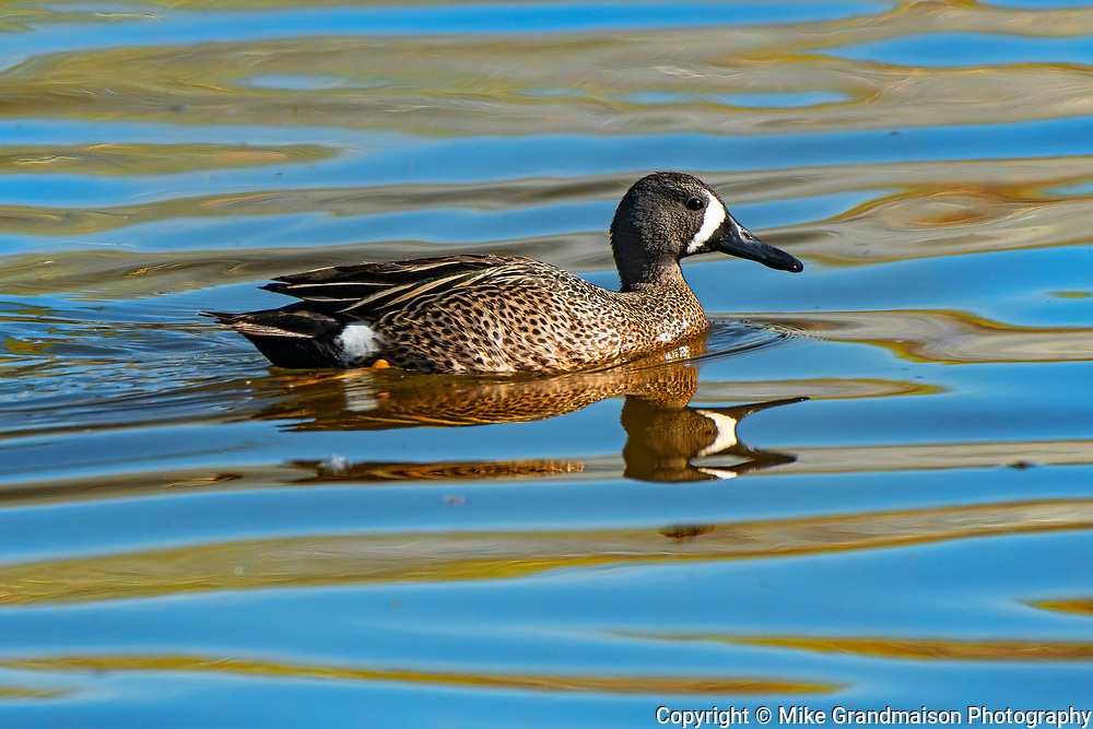 Blue-winged teal (Spatula discors) male duck<br />Winnipeg<br />Manitoba<br />Canada