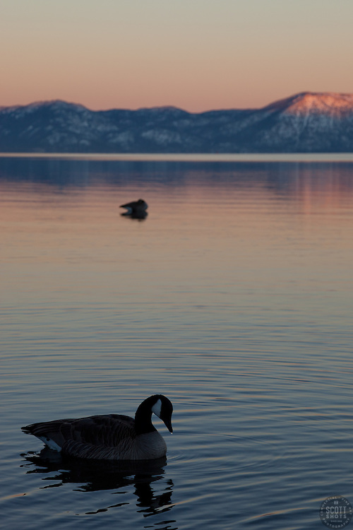 """""""Canadian Goose at Lake Tahoe 3"""" - This alpenglow and Canadian goose was photographed near Commons Beach, Lake Tahoe."""