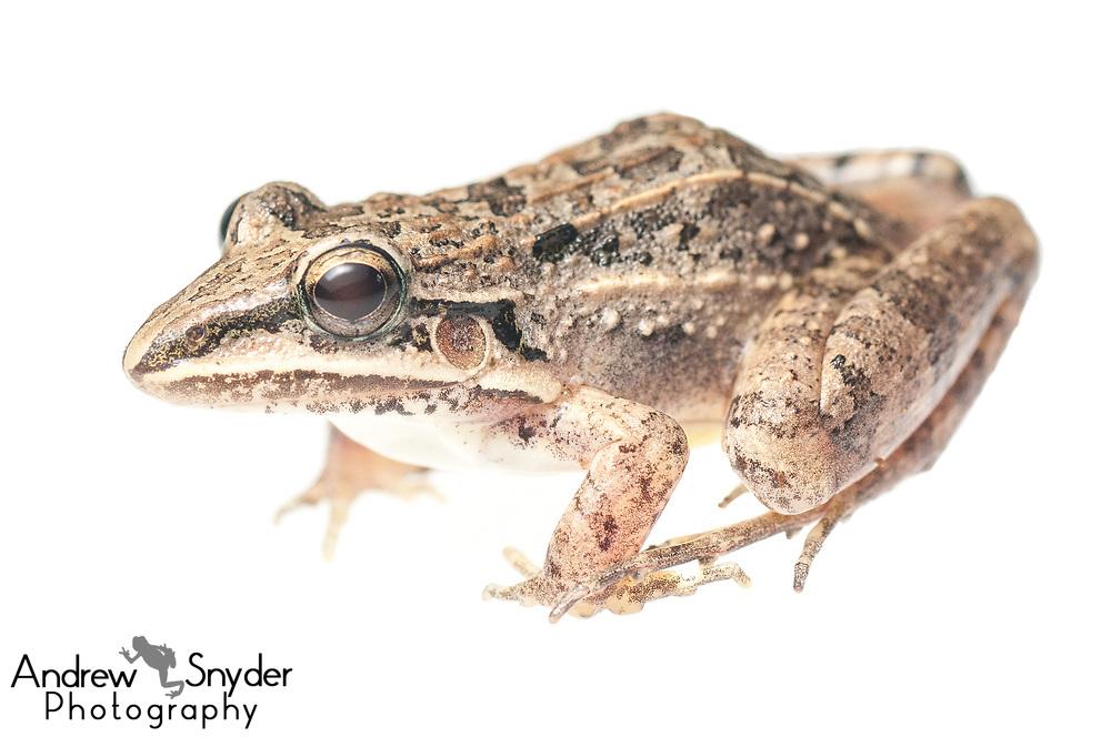 Whistling frog, Leptodactylus fuscus, Yupukari, Guyana, July 2013