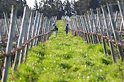 Two vineyard workers pruning the vines and tying up the branches. Vinedos y Bodega Filgueira Winery, Cuchilla Verde, Canelones, Montevideo, Uruguay, South America