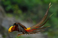 Male Golden pheasant, Chrysolophus pictus, photographed while jumping in the Yangxian Biosphere Reserve, Shaanxi, China
