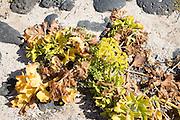 Sea kale plant, crambe maritima, sandy beach at Caleta de Caballo, Lanzarote, Canary islands, Spain