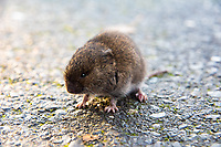 The creeping vole (also known as the Oregon vole or Oregon meadow mouse) is the smallest of the Pacific Northwest vole species and can be found from British Columbia to Northern California, west of the Cascade Mountains.They are so small that a full-grown adult weighs around two-thirds of an ounce! This was one found by sheer chance on a chilly autumn evening at the beach in Des Moines, Washington on the Puget Sound.