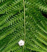 Laurel Flower on a Fern