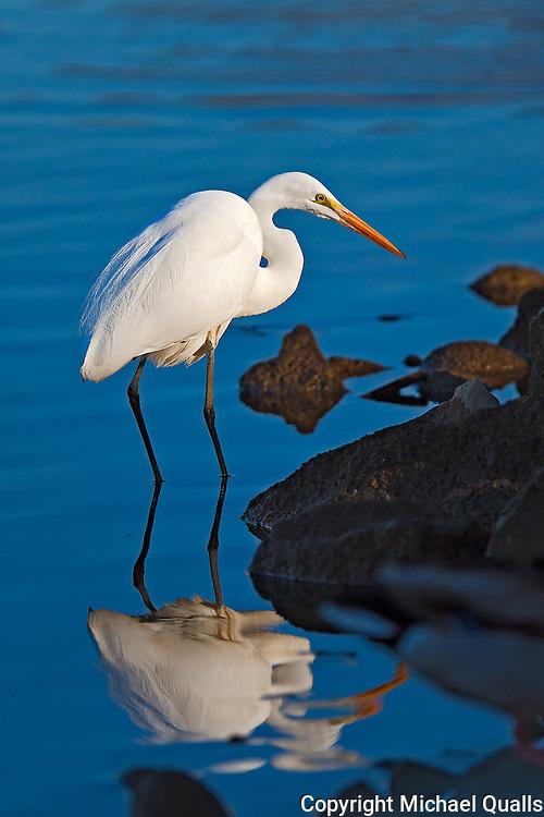 Great Egret along the shore of Lake Murray.  Stalking prey.