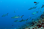 Grey Reef Sharks, Carcharhinus amblyrhynchos, school in the Tetamanu Pass of Fakarava Atoll in French Polynesia
