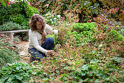 Cutting back Alchemilla mollis - lady's mantle -  after it has finished flowering