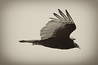 Turkey Vulture in Flight. Bodega Bay, California Coast. Image taken with a Nikon D3 and 80-400 mm VR lens (ISO 280, 400 mm, f/11, 1/250 sec). Converted to B&W with Nik Silver Efex.