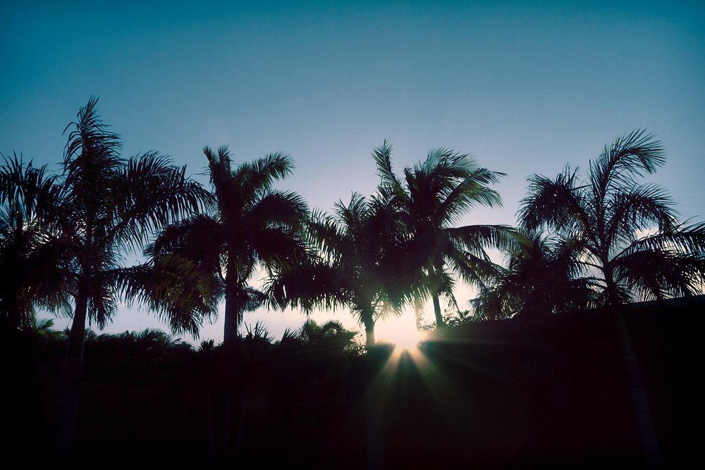 USA, Florida, Boca Raton.  The Florida sun sets behind a grove of royal palm trees (Roystonea oleracea).