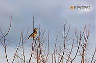 Meadowlark singing in tree at Ninepipe National Wildlife Refuge, Montana, USA