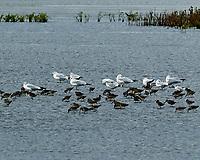 Dunlin (Calidris alpina), Ring-billed Gull (Larus delawarensis). Black Point Wildlife Drive. Merritt Island National Wildlife Refuge. Image taken with a Nikon D3 camera and 70-200 mm f/2.8 VR lens.