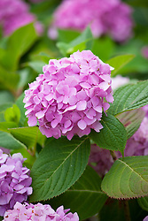 Hydrangea macrophylla Endless Summer = 'Bailmer'