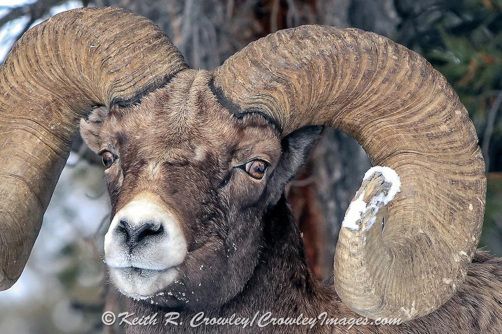 Bighorn Ram in Winter Habitat