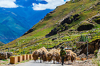 Donkeys, Yerpa Valley, Tibet (Xizang), China.