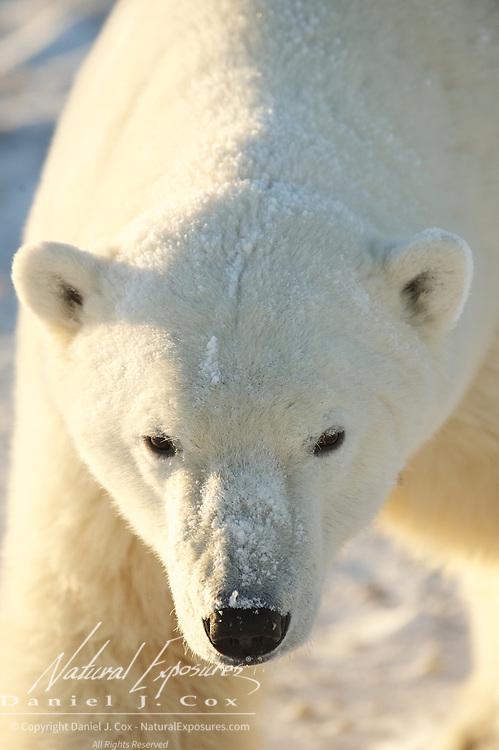 Polar bear, a mid sized male near Cape Churchill, Hudson Bay, Manitoba.
