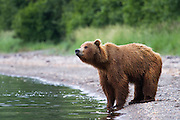 An Alaskan brown bear stands at the edge of a lake.