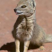 Yellow Mongoose, (Cynictis penicillata) Portrait of mongoose in red sand area. Kalahari Desert. Africa.