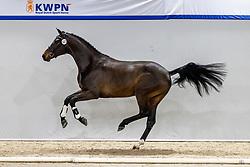 323, Nephew<br /> KWPN Hengstenkeuring 2021<br /> © Hippo Foto - Dirk Caremans<br />  05/02/2021