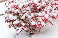 https://Duncan.co/red-leaves-covered-with-snow