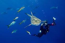 Caribbean reef shark, Carcharhinus perezi, and yellowtail snappers, Ocyurus chrysurus, Bermuda or yellow chubs, Kyphosus sectatrix or incisor, and woman scuba diver, West End, Bahamas, Atlantic Ocean
