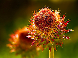 Wildflower growing in a field at Busch Wildlife.