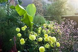 Musa basjoo with Dahlia 'Gloire van Heemstede', Cyperus papyrus and Verbena bonariensis in the exotic garden at Great Dixter