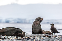 Antarctic Fur Seals & Skuas at Orne Harbour, Antarctica.
