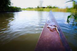 Skink on submerged bridge handrail during flood, Trinity River Audubon Center, Dallas, Texas, USA.