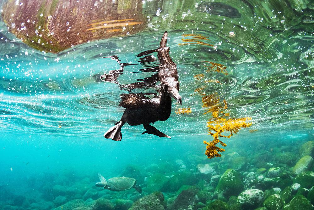 Flightless cormorant (Phalacrocorax harrisi) underwater off Isabela Island, Galapagos, Ecuador.