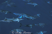Atlantic spotted dolphins, Stenella frontalis, swimming near the surface, Pico Island, Azores ( Acores ) Islands, Portugal ( North Atlantic Ocean )