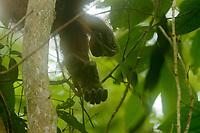 "Bornean Orangutan <br />Wurmbii Sub-species<br />(Pongo pygmaeus wurmbii)<br /><br />Foot of unflanged male ""Ned""<br /><br />Gunung Palung Orangutan Project<br />Cabang Panti Research Station<br />Gunung Palung National Park<br />West Kalimantan Province<br />Island of Borneo<br />Indonesia"